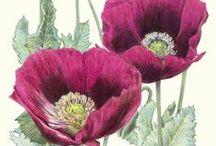 Art - Redouté/botanicals / Bloemen nvl. rozen