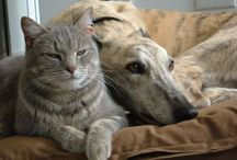 Greyhounds and Friends / Greyhounds can be friends with all sizes of dogs and some even with cats and rabbits!
