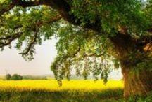 Oak trees / Oak trees