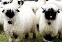 Animaux lainiers / Moutons, alpagas et lamas