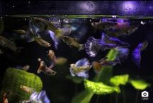 My fishes & aquariums & others / Guppy, xipho, skiffia bilineata, sakura red, betta splendens, CPO, ampullaire, wingei, Nomoramphus liemi