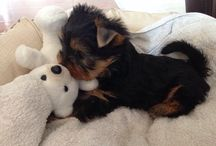 Minou / My little and sweety yorkieshire toy!!