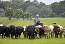 Florida Ranches / Cattle ranches across the state of Florida / by Florida Beef Council