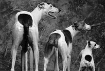 Whippets & Greyhounds Iggys
