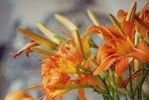 Daylilies / Indestructible Daylilies! Visit us at www.bordines.com