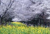 桜-CherryBlossom-Sakura / cherry-blossom sakura
