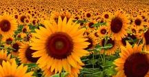 I Love Sunflower ☀ / I Love Sunflower ☀