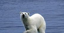 SAVE THE ARCTIC | Conservation, Climate Change, Sea Ice Decline / Photos and articles about Arctic conservation and the dangers the Arctic currently faces from climate change, pollution and mankind's interference.
