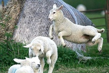 SHEEP!!!