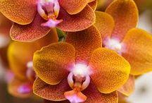 Phalaenopsis & Cymbidiums
