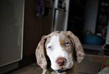Leo - catahoula leopard dog / Leo ( Cris Farmala )  Red Catahoula leopard dog with blue eyes mother: Bahama Coahoma Samý uspech father:Aurelius z kraje Thurn Taxisu