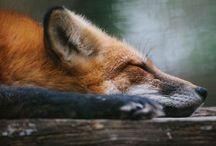 animals | vulpes / all things vulpine