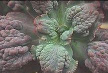 Echeveria & Co / Fantastic botanic structures and colours