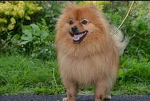 Pomeranian and Spitz Dogs / One of my favourite breeds