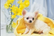 Cute Puppy Pictures / You can find cute puppy pictures that will melt your heart. Pics of the cutest puppies, lots of purebred puppy photos and cutest puppy photo. Adorableness everywhere!  / by Funny Pet Pictures