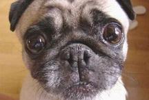 Pugs, not Drugs