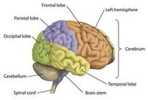 Brain/Neuroscience / The Brain and how it works. Inspiration for my Brain paintings / by Frisky Furnishings