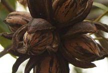 Northern Pecans / The joy of growing your own pecans
