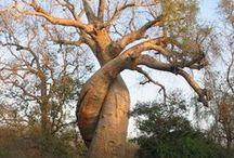 Magiczne! - Najwspanialsze drzewa na świecie. / Jest multum powodów, dla których powinniśmy kochać drzewa. Biorąc przede wszystkim pod uwagę fakt, że zmieniają dwutlenek węgla w tlen i dają schronienie wielu stworzeniom. Poza tymi czysto praktycznymi aspektami, drzewa są także wyjątkowo piękne…i na tym chcemy się teraz skupić. Zobaczcie zresztą sami, jak Matka Natura potrafi nas zaskakiwać.