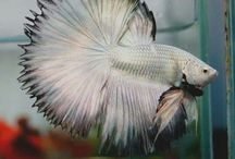 betta splendens / I always put my own descriptions on these, so yes, i write all of it.