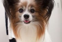 "my lovely dog ""GIVE"" / wonderful life with my little dog,7 years old, papillon boy"