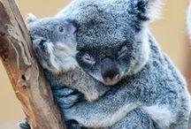 KOALIEEEEEE!!!! / My favorite animal the KOALA BEAR!!!! / by Christina Kovach