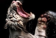 ::: CREATURE /// Cat ::: / Wild & Domestic