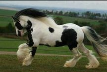 Feather Footed Horses