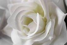 róże / najpiękniejsze z kwiatów