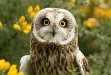owles