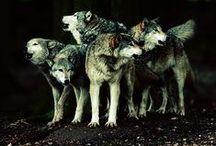 ☽ Wolf medicine ☾