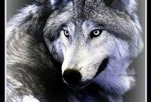 wolven / Mijn favoriete dieren.