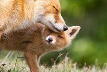 Ideal Fox Life / Fox