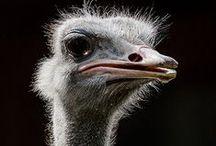Ref: Ostrich