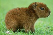 capybara appreciation / the capybara aesthetic