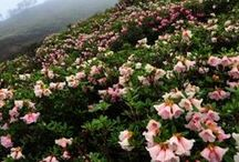 Rhododendron expeditions / Businesses that organise expeditions to see rhododendrons in the wild