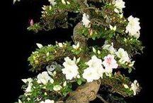 Rhododendron bonsai
