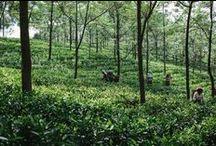 "Tea Origin Trip to India / A Tea Journey to two Pioneering Tea Estates in India ""Fall 2015"""