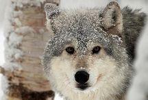ANIMAL : Wolf & wolves / by Johana Ufa