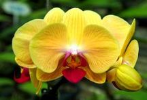 Orchid Information / Informational videos, websites, and tips for growing orchids and choosing orchid supplies.