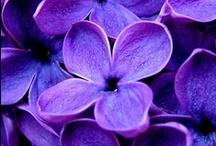 Amesthyste & violet