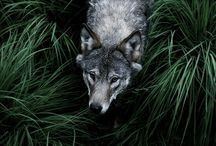 dogs&wolves / by Panta Rei