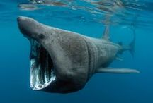 Basking Shark Project / Our Basking Shark Project is a great way for shark enthusiasts of all ages to get involved with #shark #conservation. The Shark Trust runs both a Sightings Database and a Photo-ID Database which store valuable information about these gentle giants - www.baskingsharks.org.