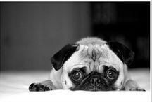 Pugs / Funny pugs
