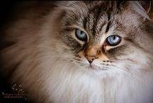 Neva masquerade/Siberian cat