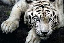 Wild cats / Beautiful animals