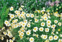 Garden: Herbal / Medicinal Plants and Herbs
