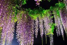 My  Wisteria / enjoy this stunning plant at the moment