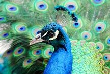 All Things Peacock