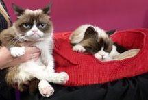 Grumpy Cat, le rigolo / De son vrai nom Tardar Sauce, Grumpy Cat est un chat femelle star du web à l'expression faciale boudeuse.